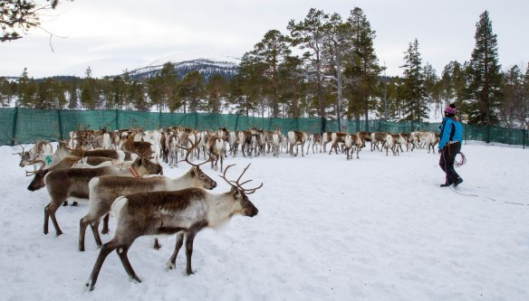 Tina Hætta i reingjerdet i Dempa, Stavassdalen